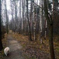 Белыми стволами разбрелись берёзки :: Елена Павлова (Смолова)