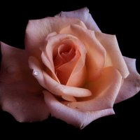 Любуясь розой. фото-3. :: Nata