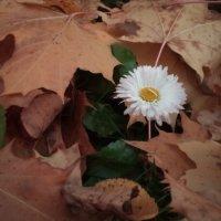 осени последний цветок. :: Серж Поветкин
