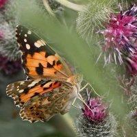 Бабочка на репейнике :: ZNatasha -