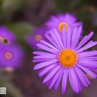 Цветы позднего лета :: Нфкул