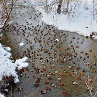 Утки на зимней речке Урочь :: Татьяна Каневская