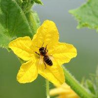 Пчела на цветке огурца. :: Ольга Митрофанова