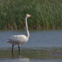 Лебедь-кликун. :: - Lanin