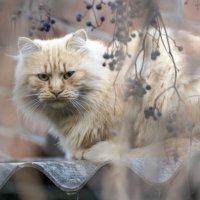 Йети-кот :: Ирина Комолова