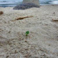 Тяга к жизни на песчаном пляже Куршской косы :: Ярослав Бычков