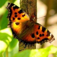 и снова бабочки 9 :: Александр Прокудин