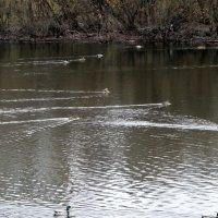 Утки на реке,как моторки несутся! :: Елизавета Успенская