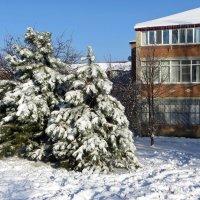 Сосны в белый снег одеты :: Татьяна Смоляниченко