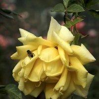 роза в парке :: Татьяна Найдёнова