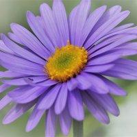 Нежный цветок :: Alm Lana