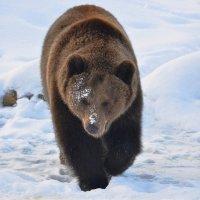 Шёл медведь к своей берлоге ... :: Татьяна Каневская