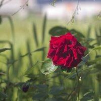 роза :: oleg pfff