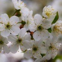Цветки дикой вишни :: Сергей Савченко