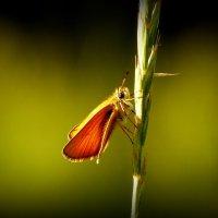 опять бабочки...12 :: Александр Прокудин