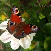 Бабочка :: Татьяна Tezh