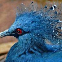 Венценосный голубь :: Константин Анисимов
