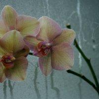 Орхидеи плачут.... :: ZNatasha -