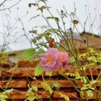 Поздние розы Рима :: Olcen Len