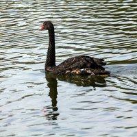 Чёрный лебедь :: Александр
