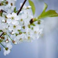 Весенняя веточка вишни :: Вероника Алатырева