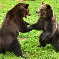 Встретились два медведя :: Татьяна Каневская