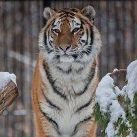 Тигр :: Владимир Габов