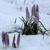 Крокус в снегу :: Heinz Thorns