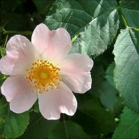 В мире роз.  Нежность шиповника :: Нина Корешкова
