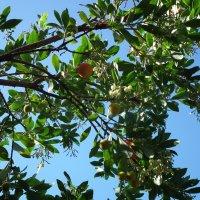 Земляничное дерево :: Natalia Harries