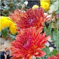 Осенние хризантемы. :: Зоя Чария