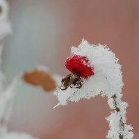 Зимний шиповник :: * vivat.b *