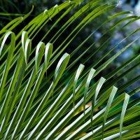Пальмовые струны :: Александр Коган