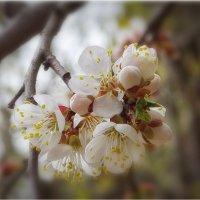 Весенний цветок, Символ нежной любви. :: Василий Бобылёв