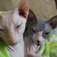 кошки :: maikl falkon
