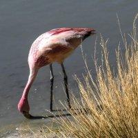 андинское фламинго :: Георгий А