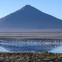 фламинго джеймс на фоне вулкана Павеллон :: Георгий А