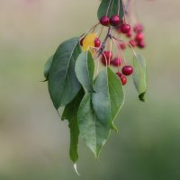 Райские яблочки. :: Виктор Иванович