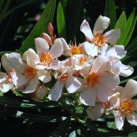 Цветы юга Франции. :: Владимир Драгунский