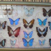 Бабочки засушенные :: Елена Елена