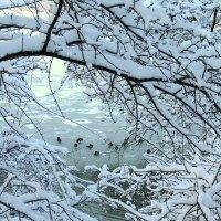 Замерзшие утки :: Сергей Карачин
