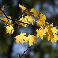 Кленовые листья :: Алексей Виноградов