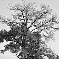 Зимой, в пасмурную погоду, либо чёрное, либо белое. :: Татьяна Помогалова