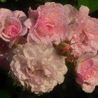 плетистые розы :: Лариса Крышталь