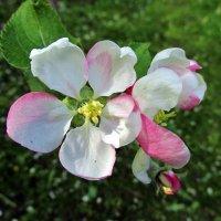 Цветёт яблоня :: Leonid Tabakov