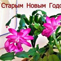 НОВОГОДНИЕ   ЦВЕТЫ :: Анатолий Малобродский