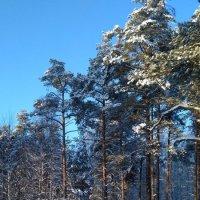 Зима в бору :: OlegVS S