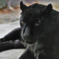 Чёрная пантера :: Константин Анисимов