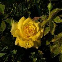Роза. :: Наташа С