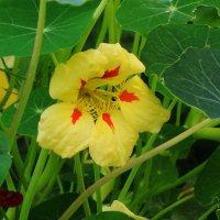 Осенние цветы - настурция :: Маргарита Батырева